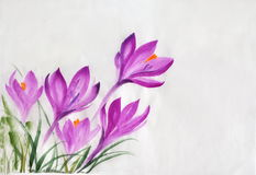 Watercolor painting of crocus flowers Royalty Free Stock Images