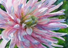 Watercolor painting. Flower aster. Royalty Free Stock Image