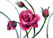 Watercolor painting of flowers Red roses Stock Photography