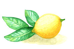 Watercolor painting fruit lemon with leafs on white background Royalty Free Stock Photo