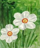 Watercolor painting of the garden flower. Watercolor painting from the garden flower Narcissus Stock Illustration