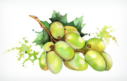 Watercolor painting, grapes, vector illustration Stock Image