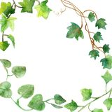 Watercolor painting of green ivy leaves isolated on a white background. Watercolor hand painted illustration. Green pattern of cli stock photo