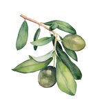 Watercolor painting of green olive branch. Botanical illustration. Watercolor painting of green olive branch. Original floral pattern