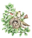Watercolor Songbirds near  Nest. Watercolor painting. Hand drawn animalistic illustration. Couple songbirds and nest with eggs isolated on white. Birds house on Royalty Free Stock Images