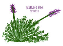 Watercolor painting of lavender bush vectorized Royalty Free Stock Photos
