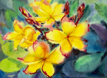 Watercolor painting original on paper colorful of yellow plumeria flowers. Royalty Free Stock Image