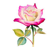 Watercolor painting original realistic happy postcard colorful flower of rose. And green leaves in white background Royalty Free Stock Photos