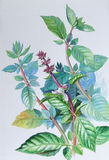 Watercolor painting original realistic herb of basil and green leaves Royalty Free Stock Image
