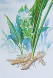 Watercolor painting original realistic herb of Ginger. And green leaves in white background. Original painting Stock Photography