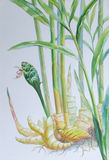 Watercolor painting original realistic herb of Ginger and green leaves Stock Images