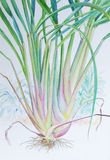 Watercolor painting original realistic lemon grass  of  and green leaves Stock Photos