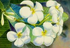 Watercolor painting original realistic white flower of frangipani vector illustration