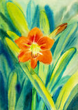 Watercolor painting original red flower of amaryllis flower Stock Images