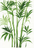 Watercolor painting of palm bamboo Royalty Free Stock Photography