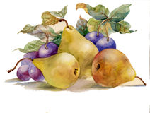 Watercolor painting: pears and plums vector illustration