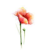 Watercolor painting poppy flower.  flower on white background Royalty Free Stock Photo
