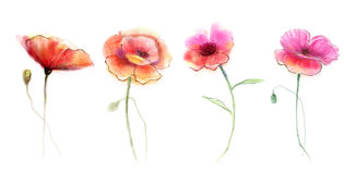 Watercolor painting poppy flower Stock Image