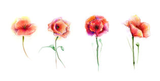Watercolor painting poppy flower Royalty Free Stock Photo