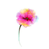 Watercolor painting poppy flower. Isolated flowers on white  paper background Stock Photos