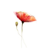 Watercolor painting poppy flower. Isolated flowers on white  paper background Stock Images