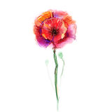 Watercolor painting poppy flower. Isolated flowers on white  paper background Stock Photography