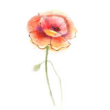 Watercolor painting poppy flower. Isolated flowers on white  paper background Royalty Free Stock Image