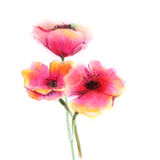 Watercolor painting poppy flower. Isolated flowers on white paper background stock illustration