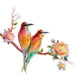 Watercolor painting realistic illustration colorful of bird lovely. And rose on white background Stock Photography