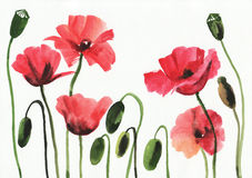 Watercolor painting of red poppies Royalty Free Stock Image