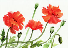 Watercolor painting of red poppies Royalty Free Stock Images