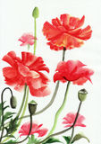 Watercolor painting of red poppies Royalty Free Stock Photo
