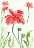Watercolor painting of red poppies Stock Photos