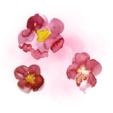 Watercolor painting of sakura Royalty Free Stock Photos