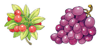 Watercolor painting series of fruit: cranberries and grapes Royalty Free Stock Photo