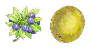 Watercolor painting of a set of fruit: blueberries and kiwi Stock Image