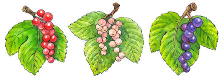 Watercolor painting of a set of fruit: currant Royalty Free Stock Photo