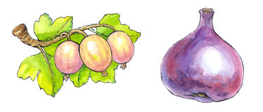 Watercolor painting of a set of fruit: figs and gooseberries. Colorful watercolor painting with a black outline of a series of fruit: figs and gooseberries Royalty Free Stock Photography