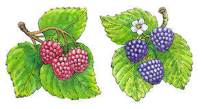 Watercolor painting of a set of fruit: strawberries and blackber Royalty Free Stock Photo