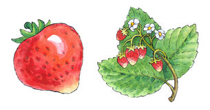 Watercolor painting of a set of fruit: strawberries Royalty Free Stock Photography