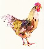 Watercolor painting sketch cock Stock Photography