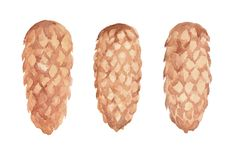 Watercolor painting of three sugar pine cones on the white background. royalty free illustration