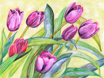 Watercolor painting tulips. Drawing watercolor spring flowering tulips Royalty Free Stock Image