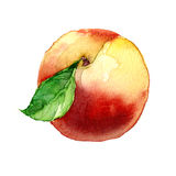 Watercolor painting on white background. Peach. watercolor painting on white background Stock Photos
