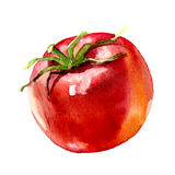 Watercolor painting on white background. Tomato. watercolor painting on white background Royalty Free Stock Photography