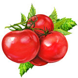 Watercolor painting on white background. Tasty tomatoes, watercolor painting on white background Stock Images