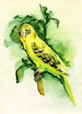 Watercolor painting. The yellow budgie Stock Photos