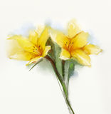 Watercolor painting yellow lilies flower Stock Images