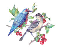Watercolor pair of birds on branch with red berries. Stock Photography