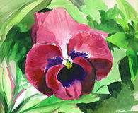 Watercolor with pansies Stock Image